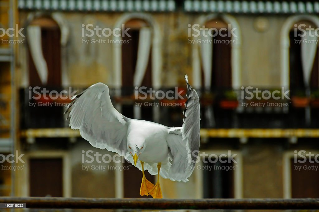 Seagull Who Bow in Venice stock photo