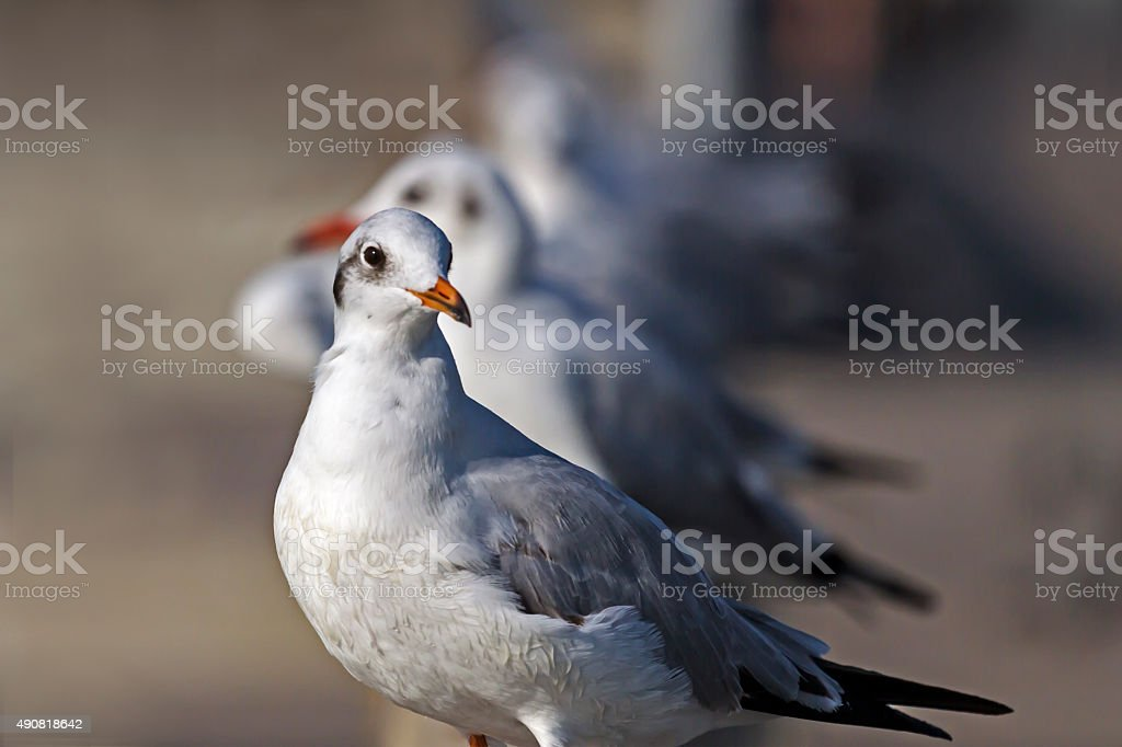 seagull wiht blur backgrond stock photo