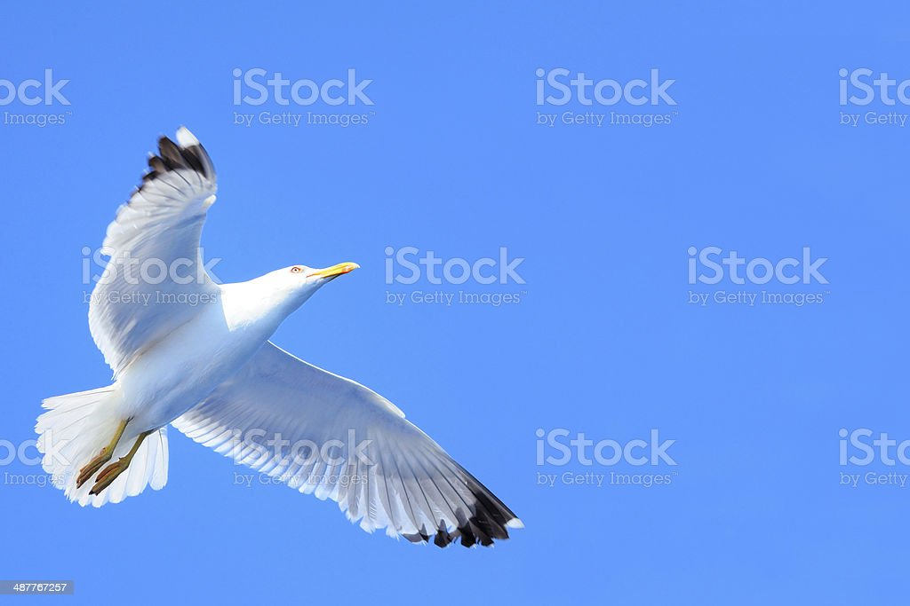 Seagull with spread wings royalty-free stock photo