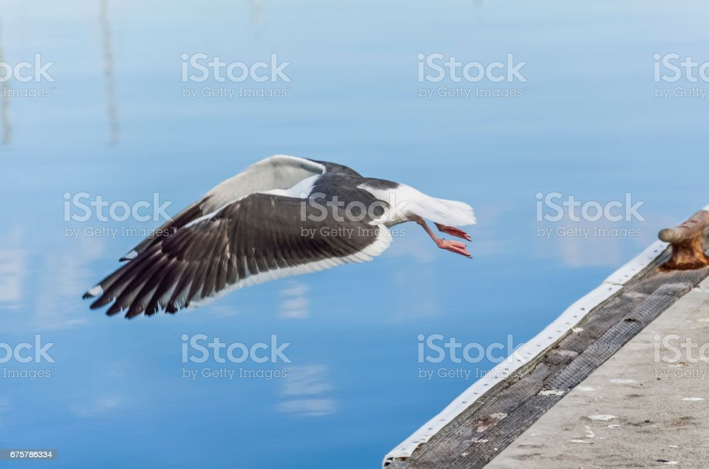 Seagull with stretched wings landing on calm water with boats reflection stock photo