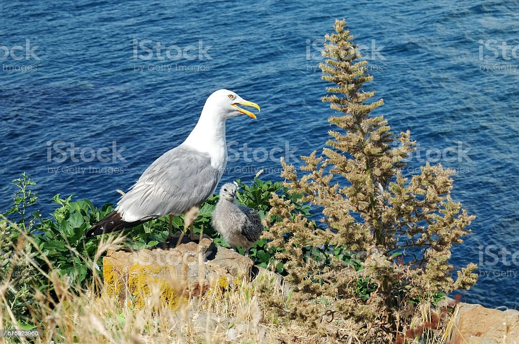 Seagull with the chick on the background sea. stock photo