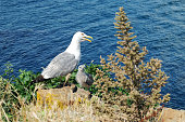 Seagull with the chick on the background sea.