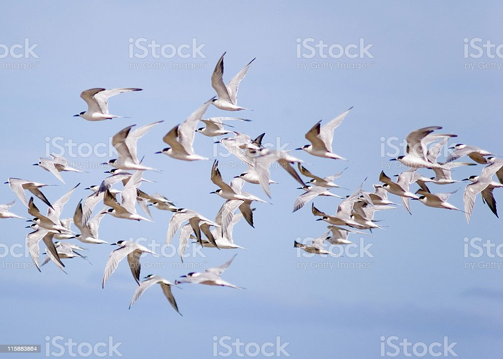 Seagullls cought in fly royalty-free stock photo