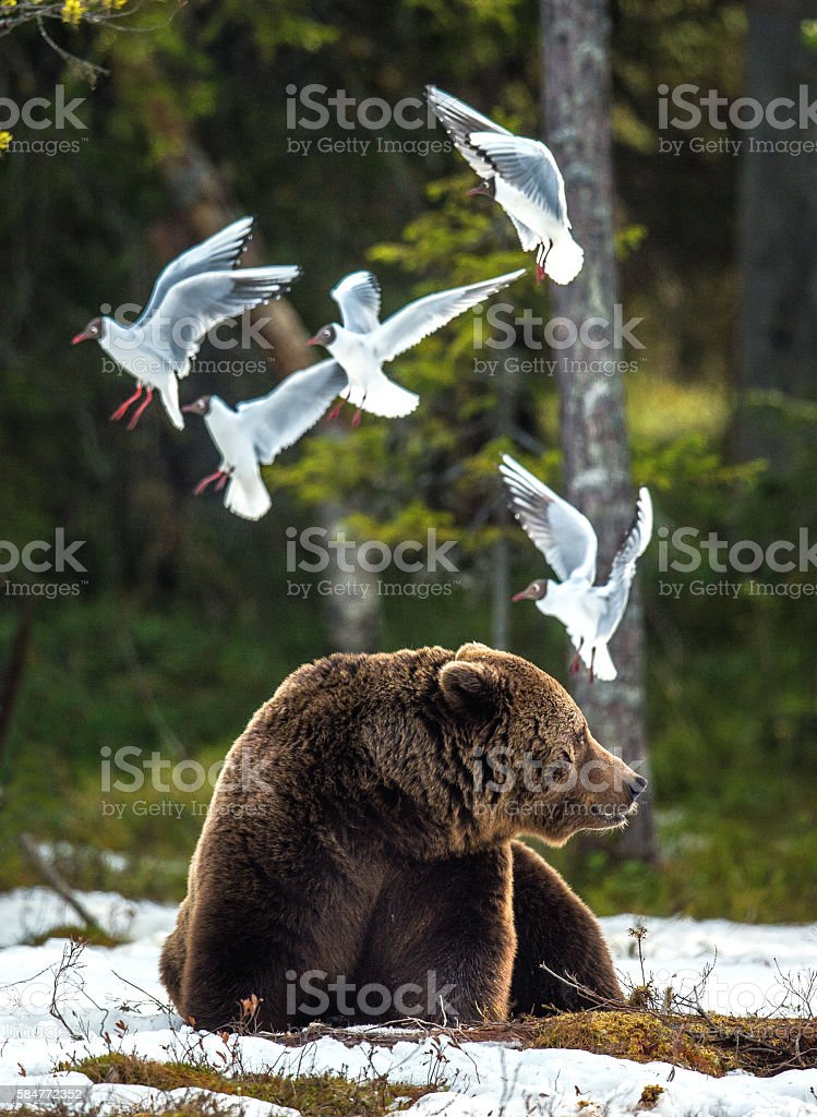 Seagulls and a Brown Bear stock photo