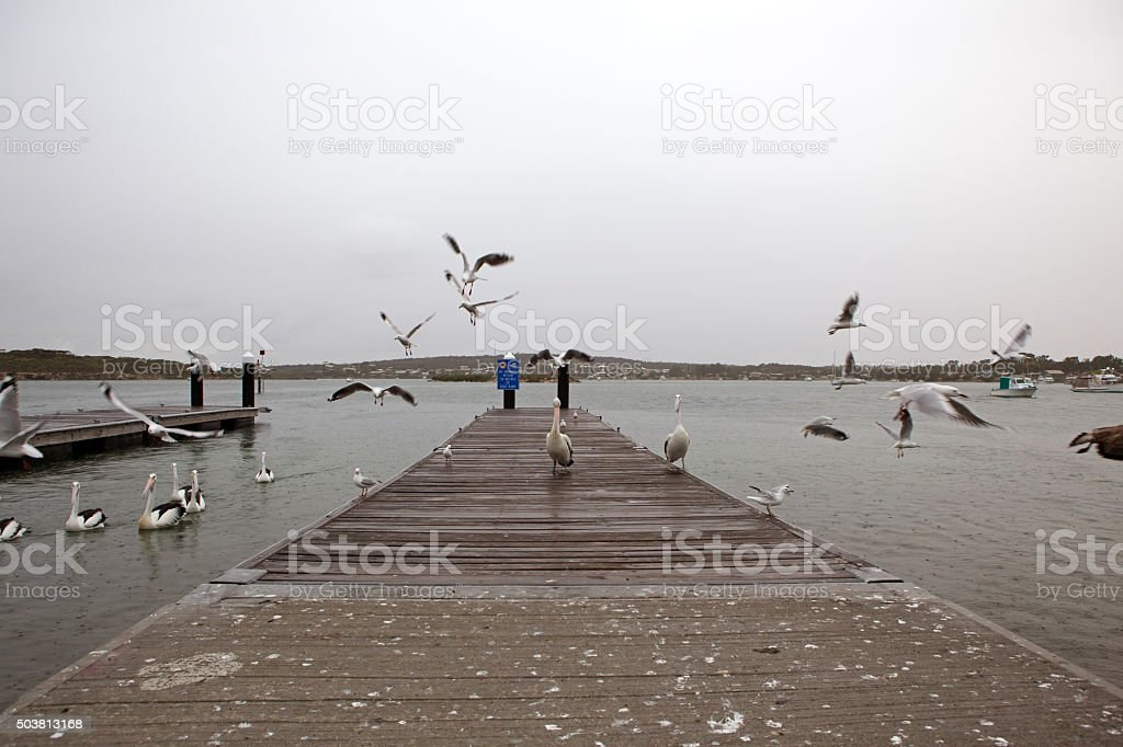 Seagulls and pelicans at the pier stock photo
