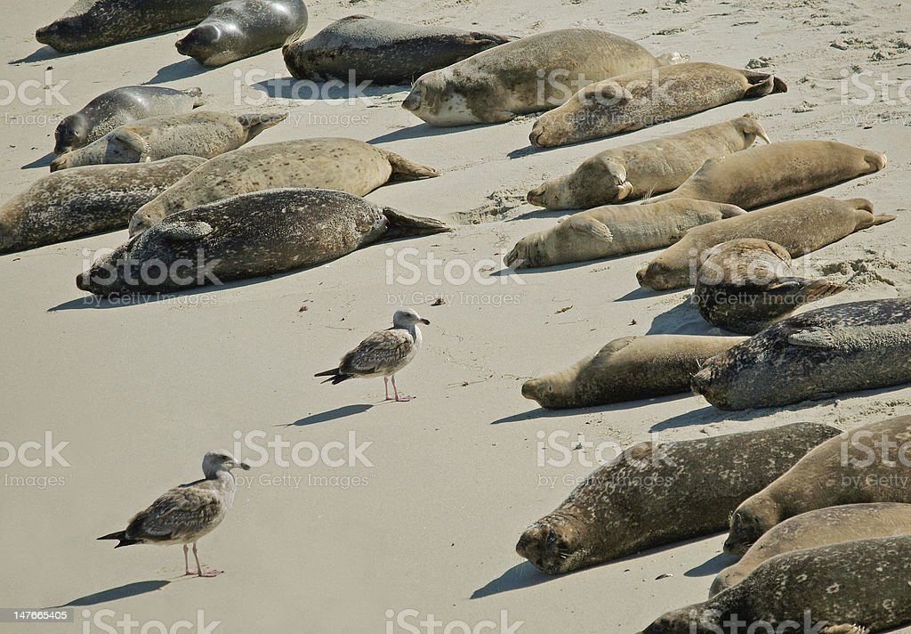 Seagulls and Sea lions royalty-free stock photo