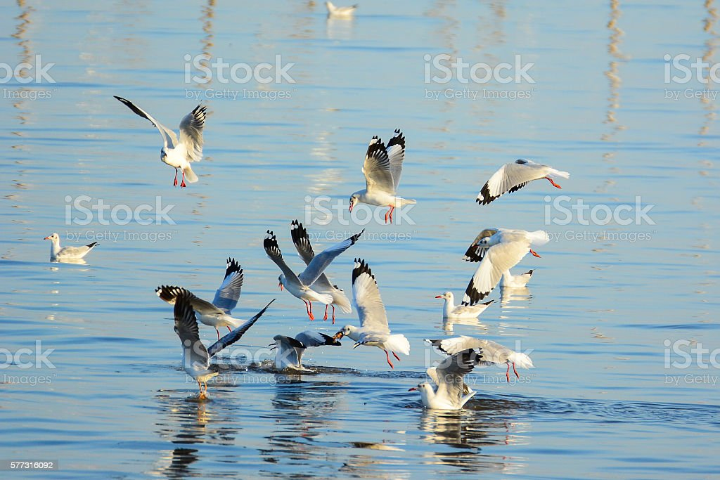 Seagulls are snatching food on the surface of the sea. stock photo