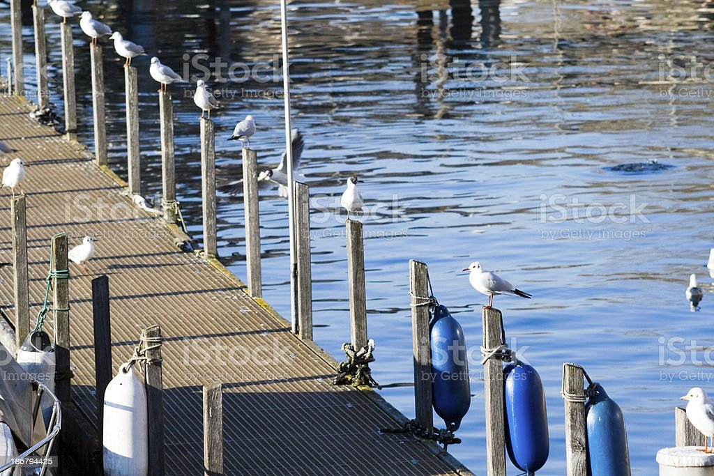 Seagulls bask in the sun of a warm february day royalty-free stock photo