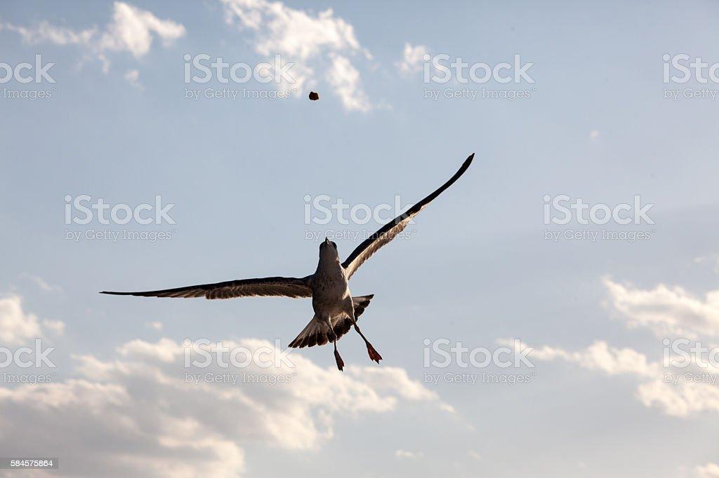 seagulls catching bread stock photo
