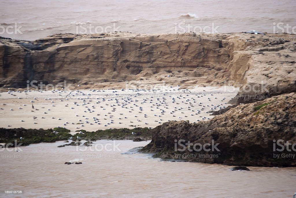Seagulls Colony in Essaouira, Morocco royalty-free stock photo