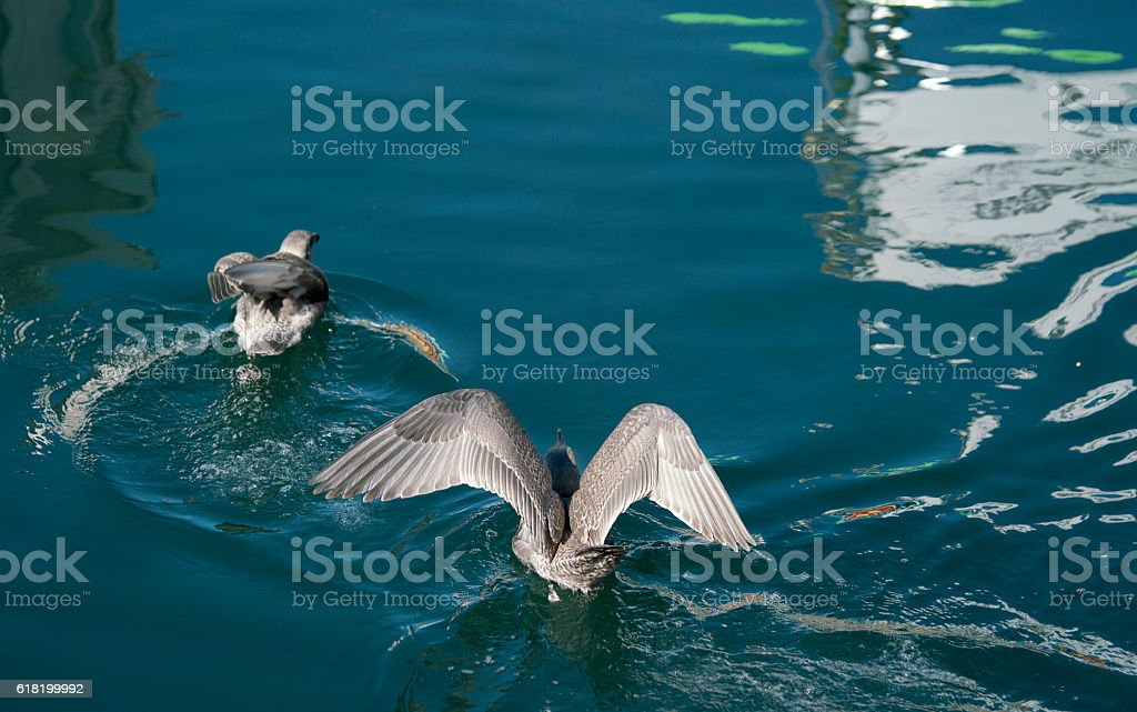 Seagulls diving for food in a harbour stock photo