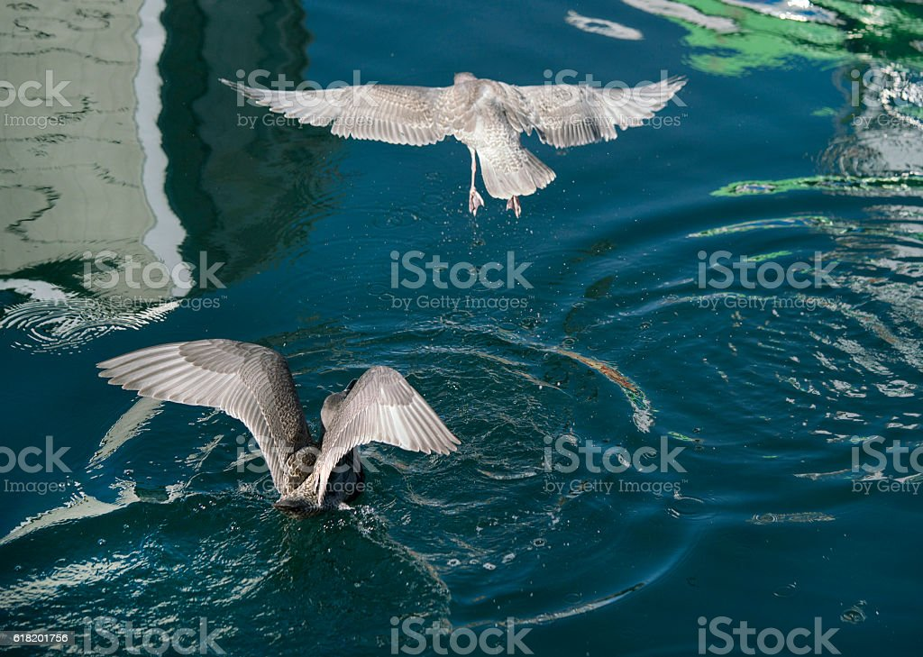 Seagulls diving for food, wings spanned stock photo
