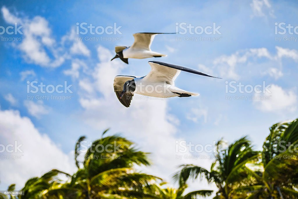 Seagulls during strong wind during a surf. Cuba, Atlantic Ocean stock photo