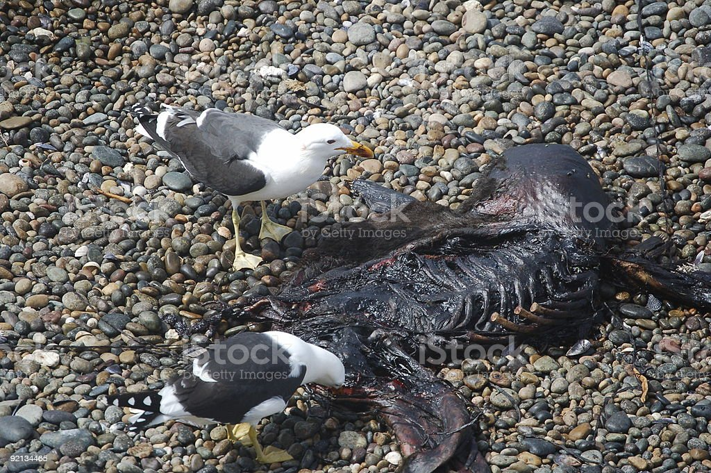 Seagulls eating dead Penguin royalty-free stock photo