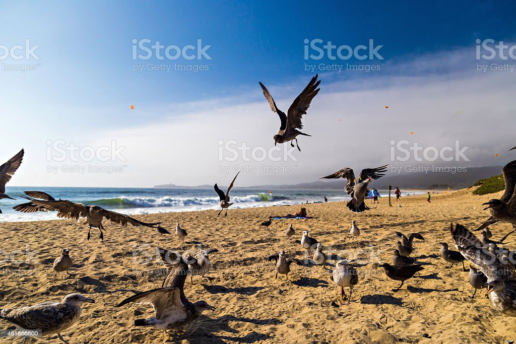 Seagulls feeding mid-air on the beach in Half Moon Bay stock photo