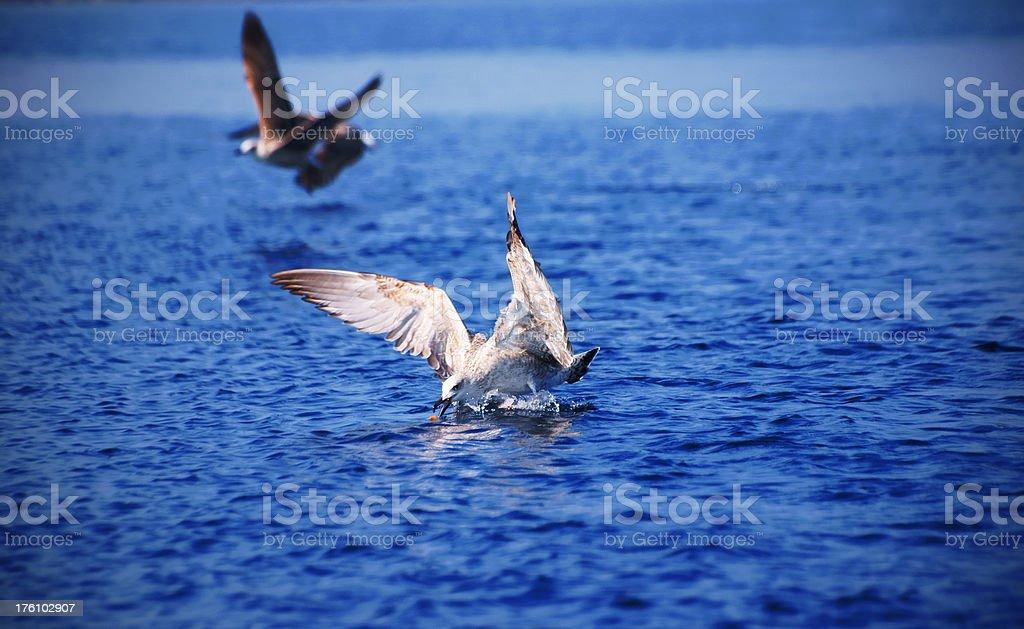 Seagulls feeding royalty-free stock photo
