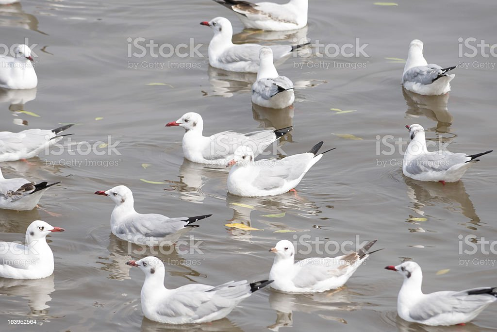 Seagulls float still in the sea royalty-free stock photo