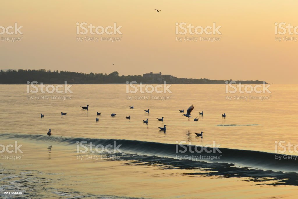 Seagulls flock in calm sea at sunrise, Ravda Resort, Bulgaria stock photo