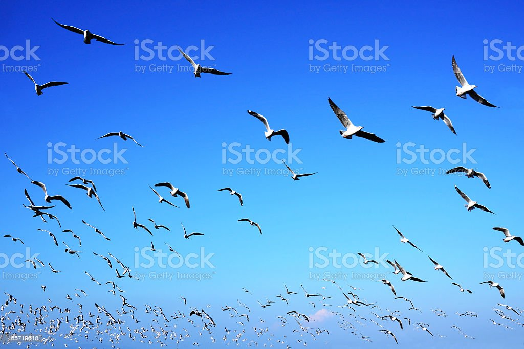 Seagulls flying in blue sky backgrounds royalty-free stock photo