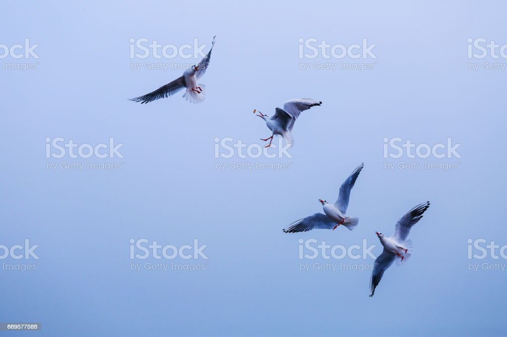 Seagulls flying in blue sky stock photo