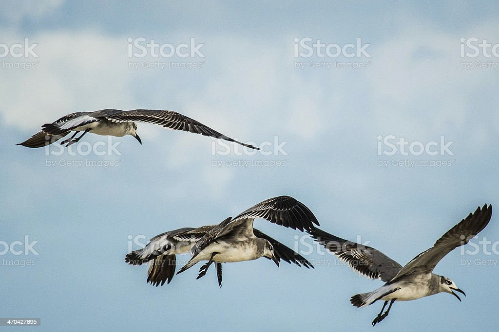 Seagulls flying in Canc?n stock photo