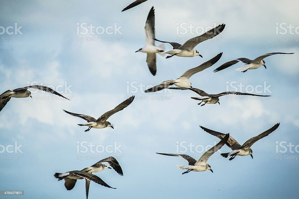 Seagulls flying in Cancún stock photo