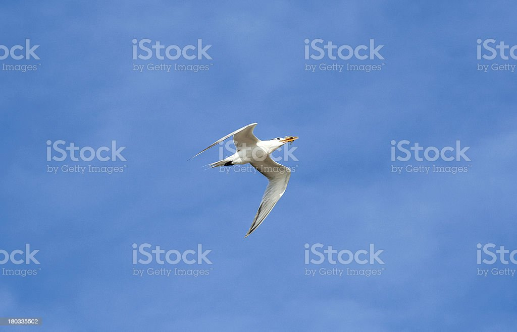 seagulls flying in the blue sky royalty-free stock photo