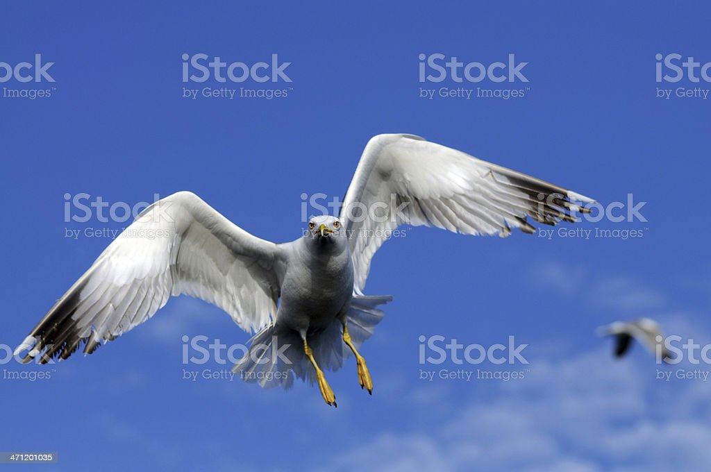 Seagulls flying on the sky royalty-free stock photo