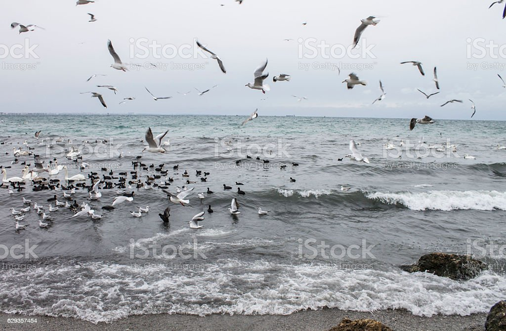 Seagulls flying over the Black Sea, winter stock photo