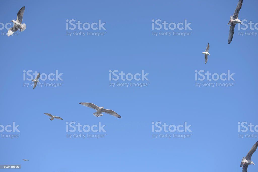 Seagulls Flying Overhead Against Clear Blue Sky stock photo