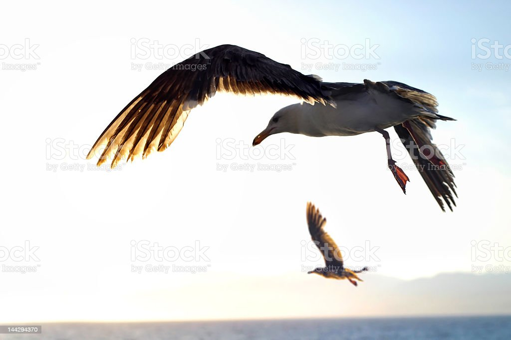 Seagulls flying royalty-free stock photo