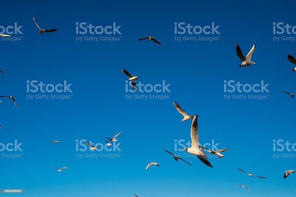 Seagulls flying stock photo