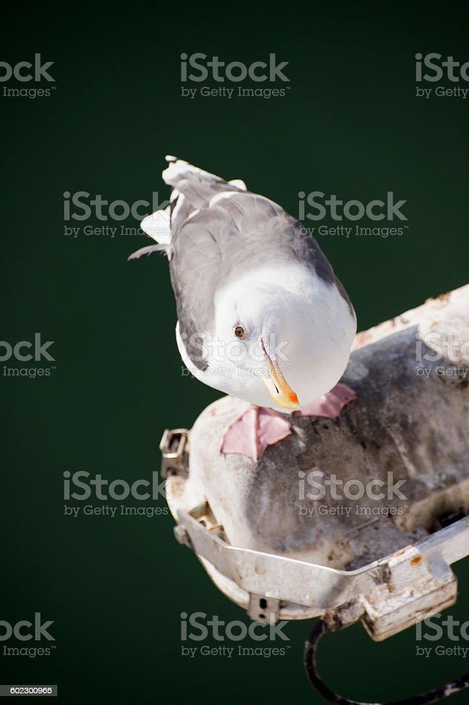 Seagull's glare stock photo