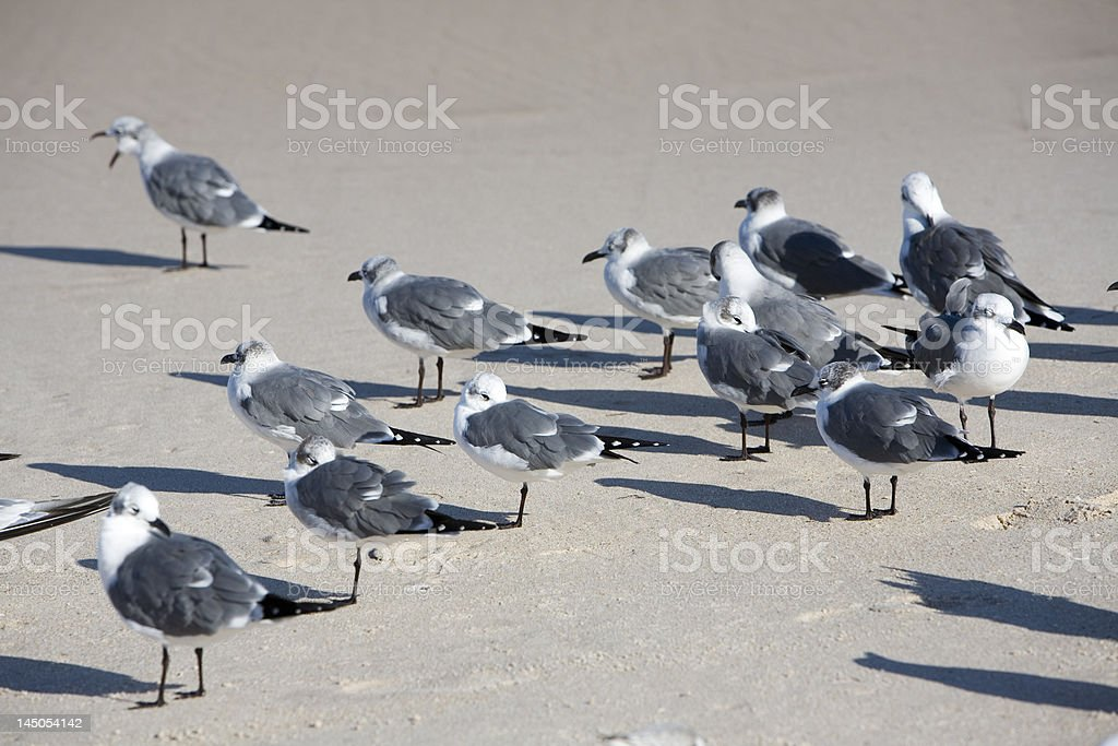 Seagulls hanging at the beach royalty-free stock photo