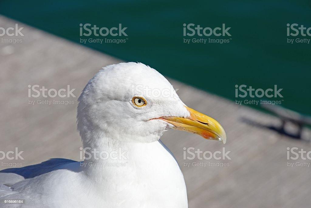 Seagulls head, Weymouth. stock photo