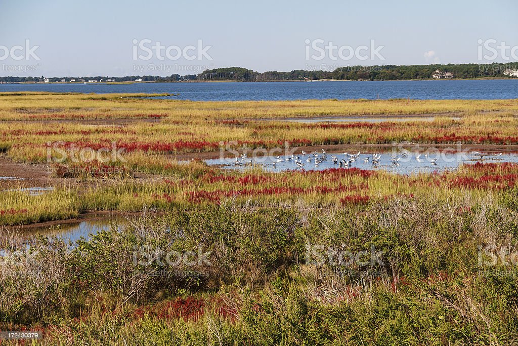 Seagulls in a Marshy Pool, Assateague Island Landscape royalty-free stock photo