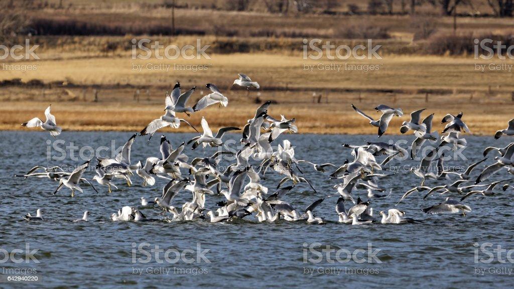 Seagulls in Colorado stock photo