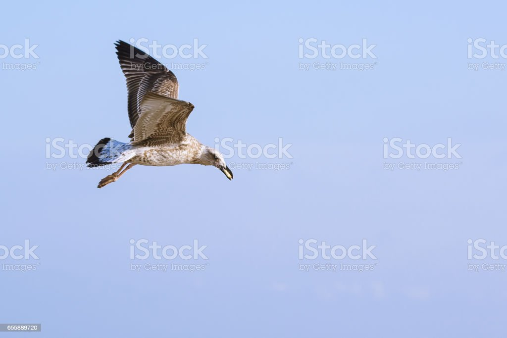 Seagulls (lat. Larus argentatus) in flight against the sky stock photo
