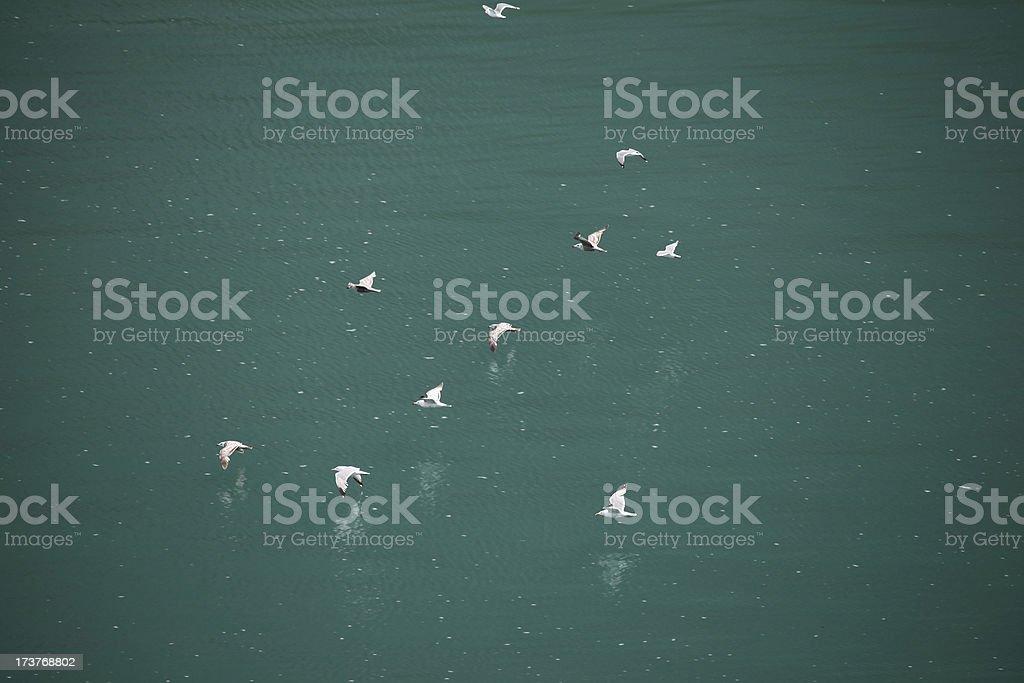 Seagulls in flight over ocean. Alaska. Copy space. royalty-free stock photo