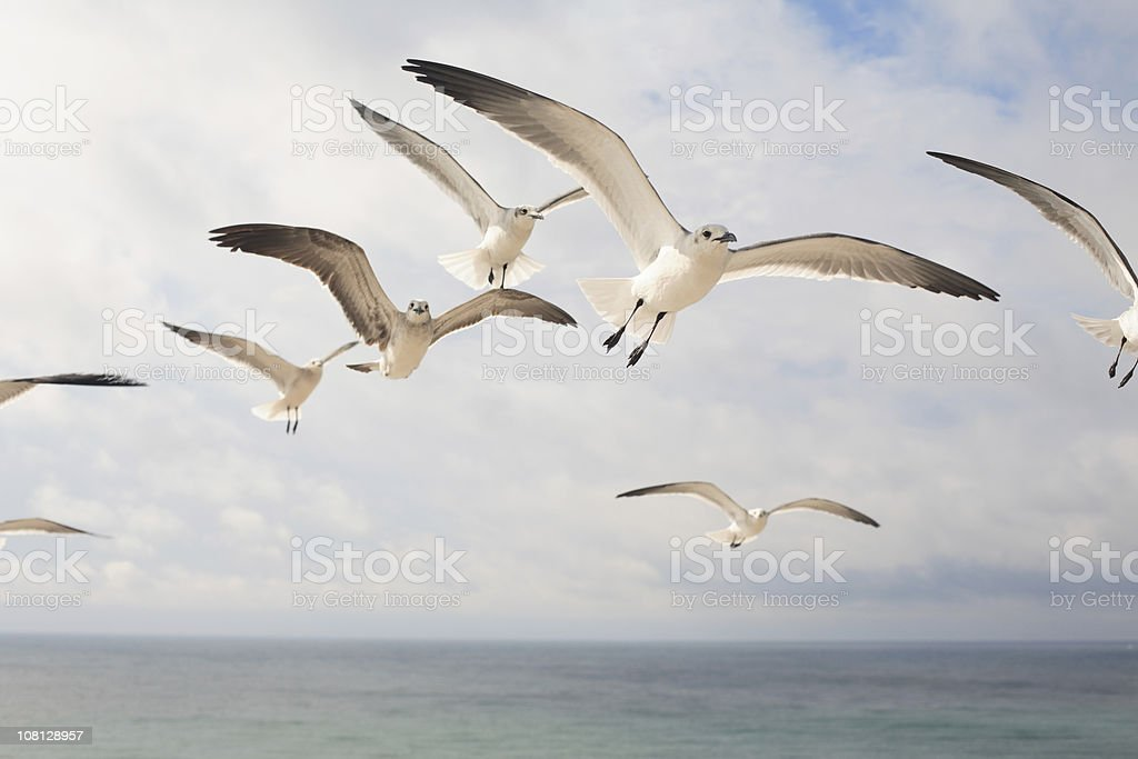 Seagulls in Flight stock photo