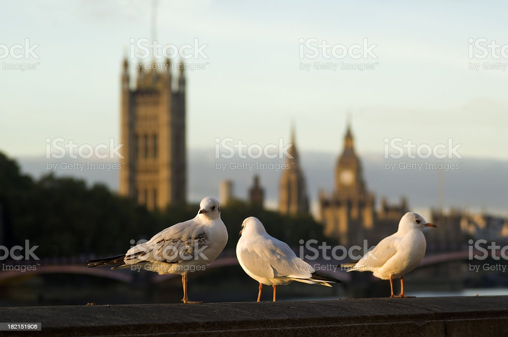 Seagulls in front of Houses of Parliament with Big Ben royalty-free stock photo