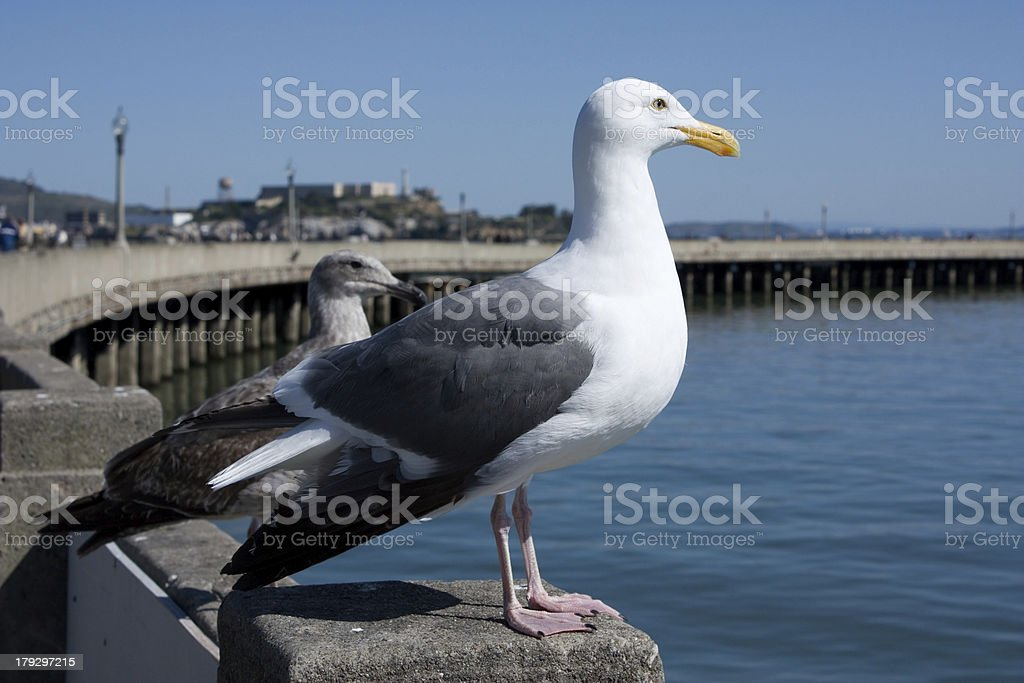 seagulls in san francisco royalty-free stock photo