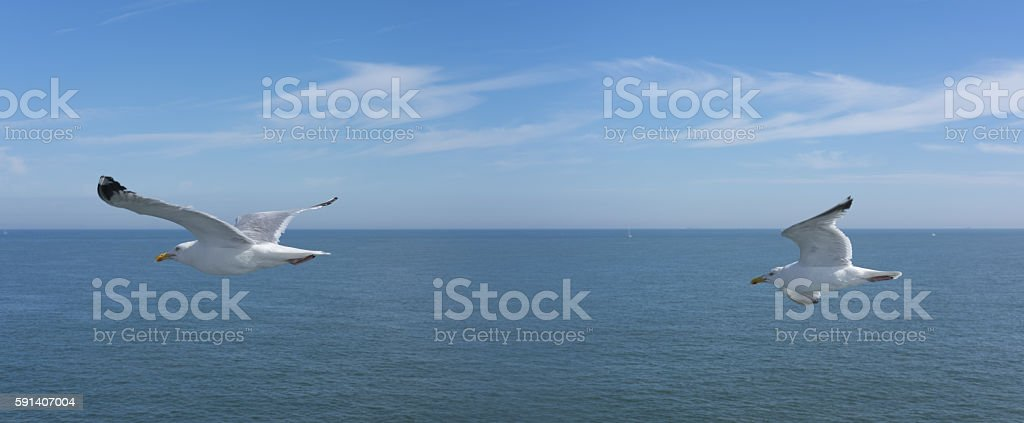 Seagulls in the sky. stock photo