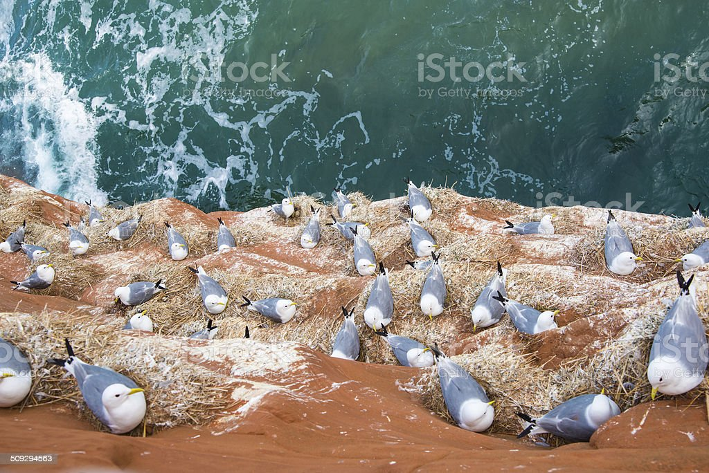 Seagulls in their nest on a red cliff. stock photo