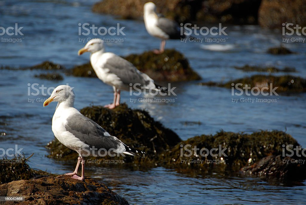Seagulls in Triplicate royalty-free stock photo
