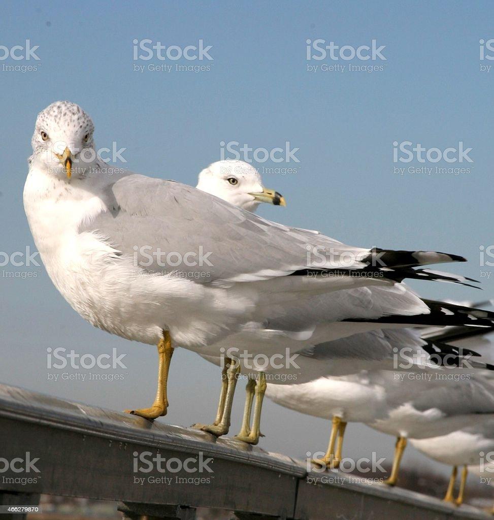 Seagulls on a row stock photo