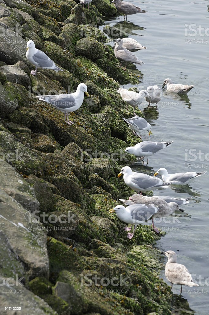 Seagulls on Canada's West Coast. Glaucous Gulls. royalty-free stock photo