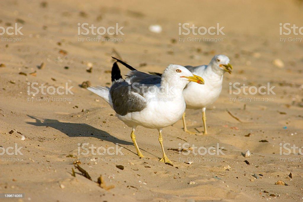 Seagulls on the beach royalty-free stock photo