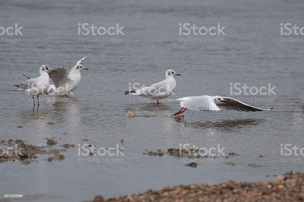 seagulls resting in water royalty-free stock photo