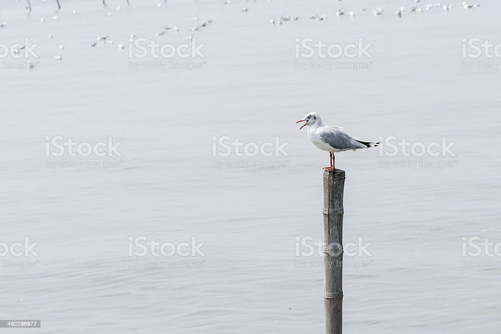 Seagulls standing on bamboo shore of the Sea stock photo